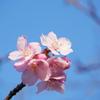 やっと咲き始めた今年の河津桜