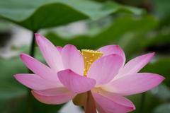 ハス池の大賀蓮