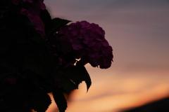 紫陽花の夕景