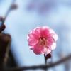 紅梅の花びらを透かす光