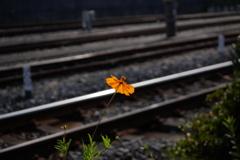キバナコスモスの鉄道風景