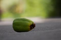 木瓜の実が転がる朝の路