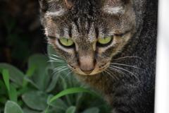 オクラを撮っていたら、竹垣の中からトラ子