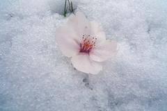 春の雪に落ちた桜