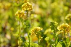 暖かな冬の陽の菜の花