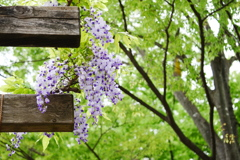 藤棚と欅の新緑