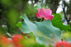 ヒガンバナと蓮の花