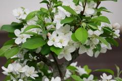 真っ白な姫リンゴの花