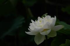 暗い背景に白い蓮