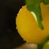 レモンの水滴