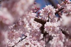 枝垂桜咲き誇る