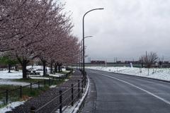 桜と雪と金太郎