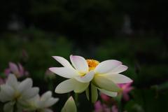 舞妃蓮で花粉集め