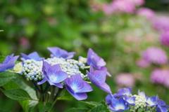 背景もカラフル 紫陽花の小径