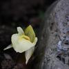 ひっそりとミョウガの花