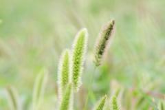 猫じゃらし草原
