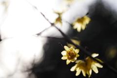 早くも香る12月の蝋梅