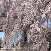 今年も山門と枝垂桜