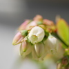 ブルーベリーも開花