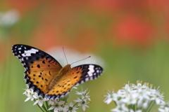 蜜を吸いながら彼岸花を鑑賞するキアゲハ