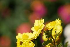 小菊と七変化