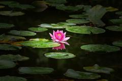 睡蓮が咲く池