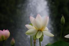 噴水の池に舞妃蓮