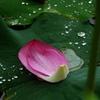 雨のハス池で