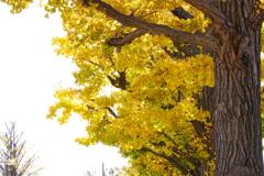 イチョウ並木の黄葉