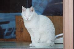 店番をする白いネコ
