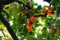 柿の生り年