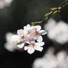 枝垂れ桜 1