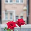 「北浜レトロ」と秋バラ 3
