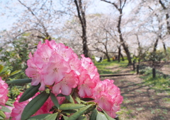 石楠花 6