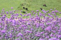 三尺バーベナと淡路牛
