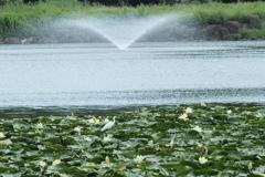 水連とコサギと噴水