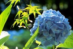 紫陽花 12