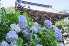仁王門と紫陽花