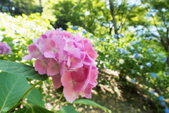 紫陽花 10