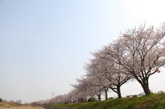 安濃川 桜