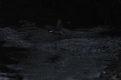 カワセミ ~水の波紋を作る~