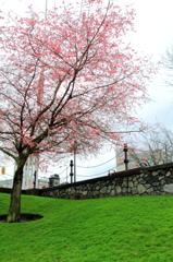 Cherry blossom:桜