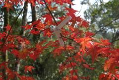 秋のおみくじ