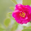 雨上がりの山茶花
