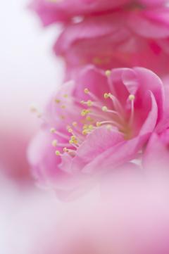 紅梅が咲いた