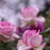 小雨の中の薔薇2