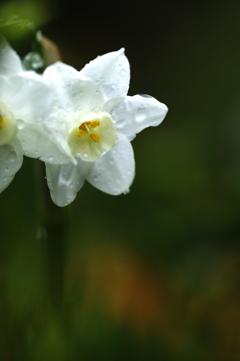雫のついた水仙の花