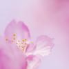 照らされる河津桜