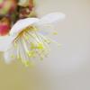 白梅の開花
