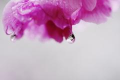 桜の雫の中にも桜